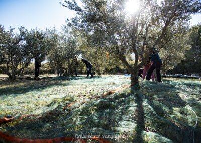 cueillette des olives pézenas