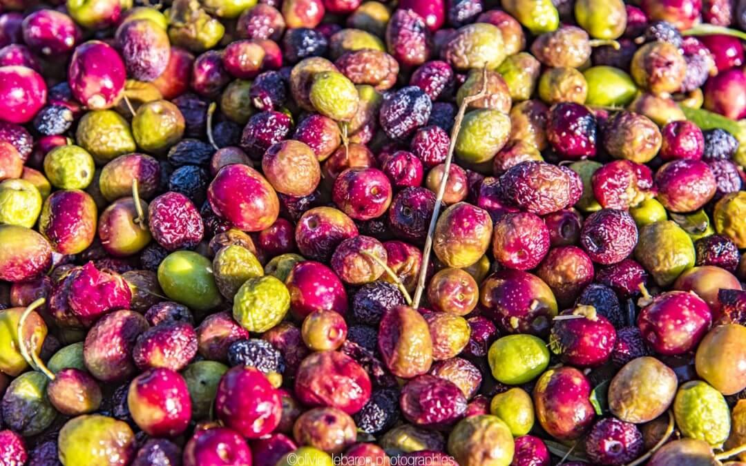 La cueillette des olives en images