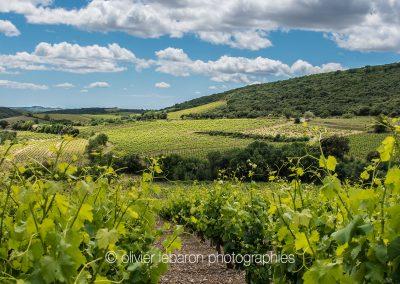 belles vignes sur schiste