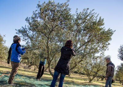 ramasser olives à Pézenas