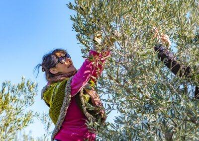 cueillir des olives languedoc
