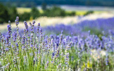 La Lavande la carte postale mondiale de la Provence