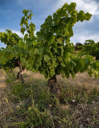 Beau pied de vigne sur terroir